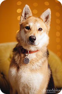 German Shepherd Dog/Shiba Inu Mix Dog for adoption in Portland, Oregon - Daphne