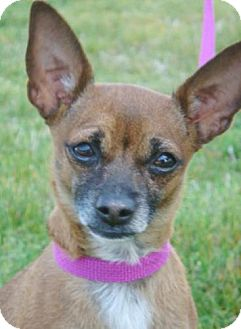 Chihuahua Mix Dog for adoption in Red Bluff, California - Tink