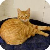 Domestic Mediumhair Cat for adoption in Fallbrook, California - Percey