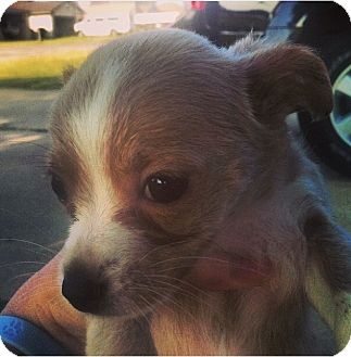 Chihuahua Puppy for adoption in Astoria, New York - Louise
