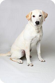 Labrador Retriever/Golden Retriever Mix Puppy for adoption in White River Junction, Vermont - Rikka Pup