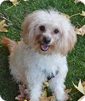Maltese/Poodle (Miniature) Mix Puppy for adoption in West LA, California - MONKEY