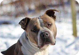 American Staffordshire Terrier Dog for adoption in Port Washington, New York - Latte