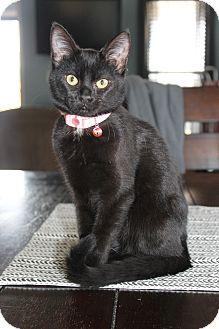 Domestic Shorthair Kitten for adoption in Nashville, Tennessee - Molly
