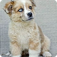 Adopt A Pet :: *Fisher - PENDING - Westport, CT