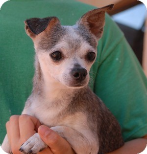 Chihuahua Mix Dog for adoption in Las Vegas, Nevada - Spike