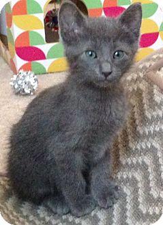 Domestic Shorthair Kitten for adoption in Plano, Texas - MIDNIGHT