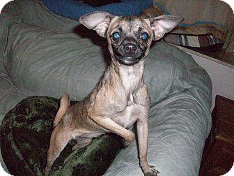 Pug/Chihuahua Mix Dog for adoption in Hurricane, Utah - Twinkle