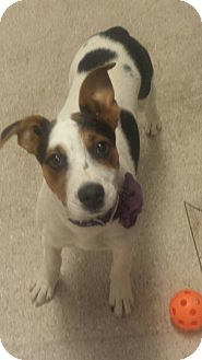 Jack Russell Terrier Puppy for adoption in Scottsdale, Arizona - Nelly