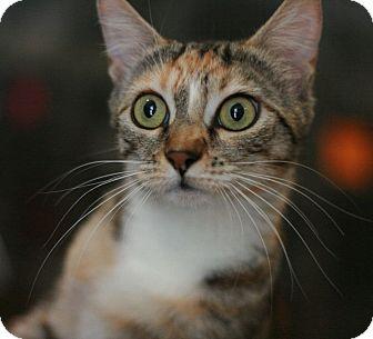 Domestic Shorthair Cat for adoption in Canoga Park, California - Sedona