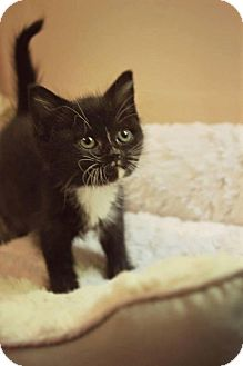 Domestic Shorthair Kitten for adoption in Greensboro, Georgia - Lily