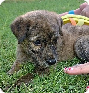 Whippet/Retriever (Unknown Type) Mix Puppy for adoption in WADSWORTH, Illinois - Captain