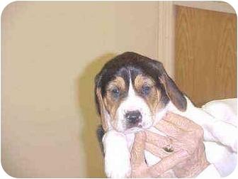 Treeing Walker Coonhound Mix Puppy for adoption in Burnsville, North Carolina - Vance