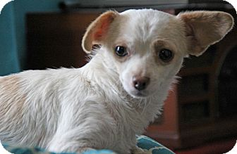 Chihuahua/Terrier (Unknown Type, Small) Mix Dog for adoption in Yuba City, California - Vanna