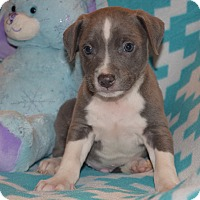 Adopt A Pet :: FRANKLIN - Nashville, TN