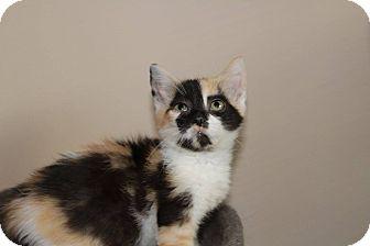 Domestic Shorthair Kitten for adoption in Hamilton., Ontario - Samantha