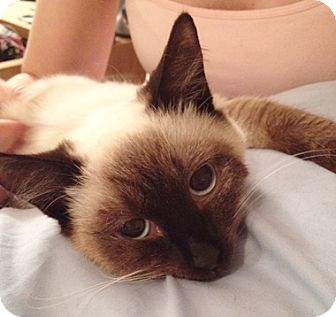 Siamese Cat for adoption in North Highlands, California - Mynka