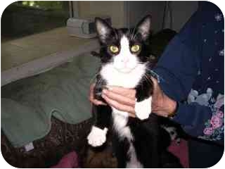 Domestic Shorthair Cat for adoption in Pickering, Ontario - Pink Nose
