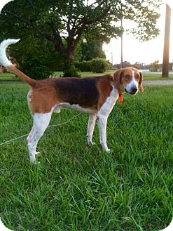 Foxhound Dog for adoption in Warner Robins, Georgia - Mario