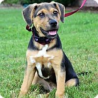 Adopt A Pet :: *Faye - PENDING - Westport, CT