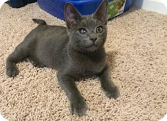 Domestic Shorthair Kitten for adoption in Manhattan, Kansas - Remy
