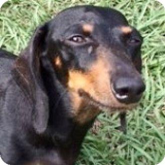 Dachshund Dog for adoption in Houston, Texas - Bristol Braeburn