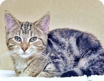 Domestic Shorthair Kitten for adoption in Lincolnton, North Carolina - Penda $20