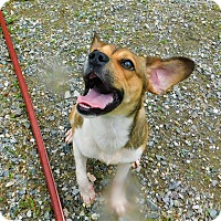 Beagle Mix Puppy for adoption in Lafayette, New Jersey - Theo