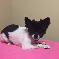 Adopt A Pet :: Fifi - Valparaiso, IN