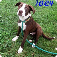 Adopt A Pet :: Joey - in Maine - kennebunkport, ME