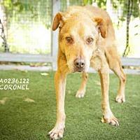 Adopt A Pet :: CORONEL - Los Angeles, CA