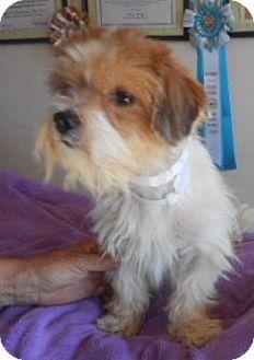 Shih Tzu Dog for adoption in Yucaipa, California - CS-8