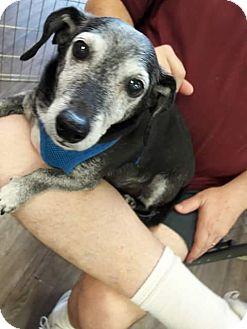 Dachshund Mix Dog for adoption in Henderson, Nevada - Gabel