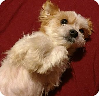 Chihuahua/Maltese Mix Dog for adoption in San Diego, California - Malcolm