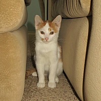 Adopt A Pet :: King George - Lexington, KY