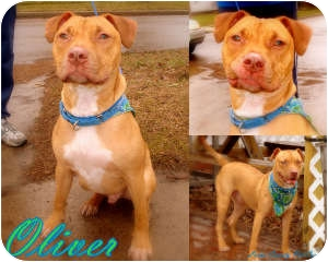 Labrador Retriever/American Pit Bull Terrier Mix Dog for adoption in Toledo, Ohio - Oliver