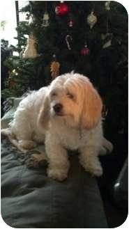 Cockapoo Mix Dog for adoption in New Baltimore, Michigan - Pippy