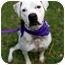 Photo 2 - American Bulldog Mix Dog for adoption in Miami, Florida - Sasha