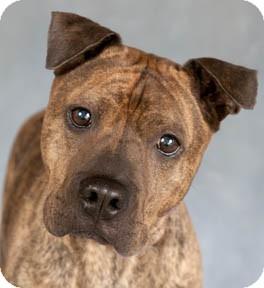 Shar Pei/Boston Terrier Mix Dog for adoption in Chicago, Illinois - Mike