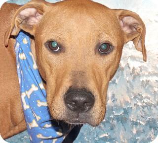 Labrador Retriever/Boxer Mix Dog for adoption in Cincinnati, Ohio - Valentino