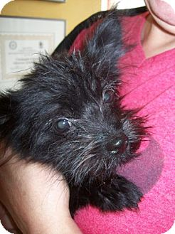 Yorkie, Yorkshire Terrier/Chihuahua Mix Puppy for adoption in Edmond, Oklahoma - Toto from Oz