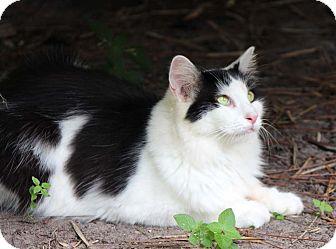Domestic Mediumhair Cat for adoption in Naples, Florida - Elizabeth Taylor