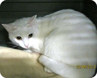 Domestic Shorthair Cat for adoption in West Palm Beach, Florida - LOVEE