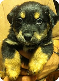 Shepherd (Unknown Type) Mix Puppy for adoption in Russellville, Kentucky - Pipsqueak