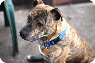Pit Bull Terrier Mix Dog for adoption in Norwalk, Connecticut - Cody