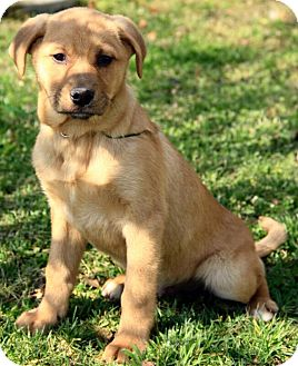 Golden Retriever Mix Puppy for adoption in Windham, New Hampshire - Asher