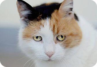 Calico Cat for adoption in Berkeley, California - Fluffy