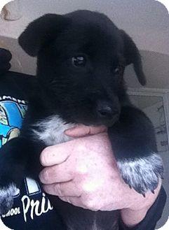 Labrador Retriever/Cattle Dog Mix Puppy for adoption in Nuevo, California - Cowrie