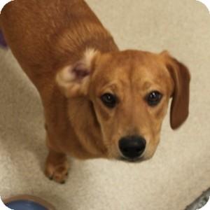 Dachshund/Labrador Retriever Mix Puppy for adoption in Naperville, Illinois - Amy