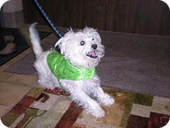 "Maltese Mix Dog for adoption in New Castle, Pennsylvania - "" Ollie """
